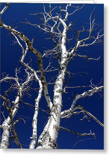 Dead Birch 3 Greeting Card by Mary Bedy