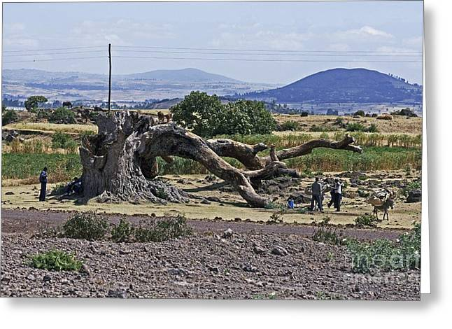 Ficus Greeting Cards - Dead Fig Tree, Ethiopia Greeting Card by Brian Gadsby
