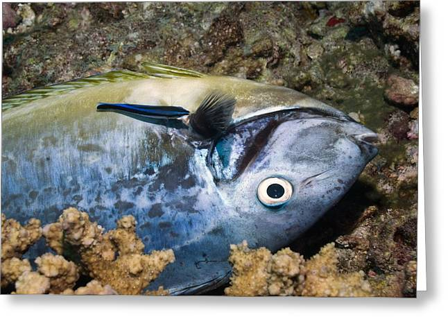Acanthuridae Greeting Cards - Dead fish and cleaner wrasse Greeting Card by Science Photo Library