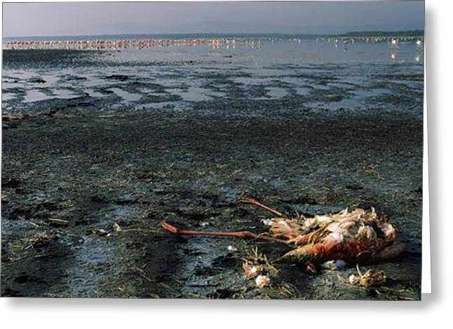 Animal Death Greeting Cards - Dead Flamingo At The Lakeside, Lake Greeting Card by Panoramic Images
