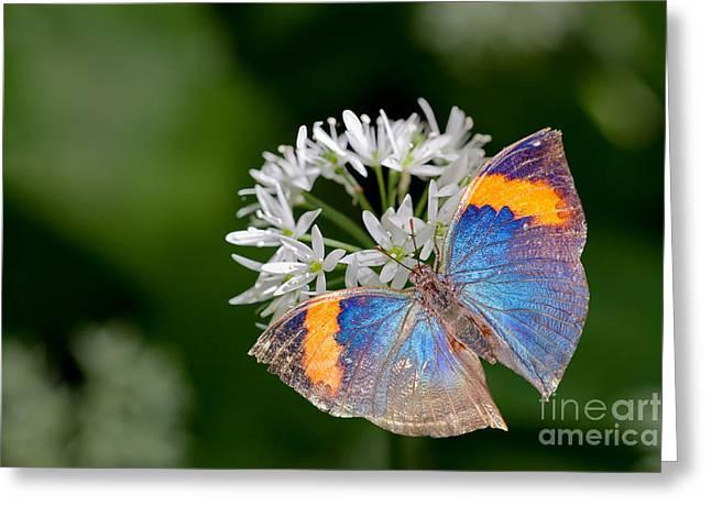 Biological Greeting Cards - Dead Leaf Butterfly  Greeting Card by Bahadir Yeniceri