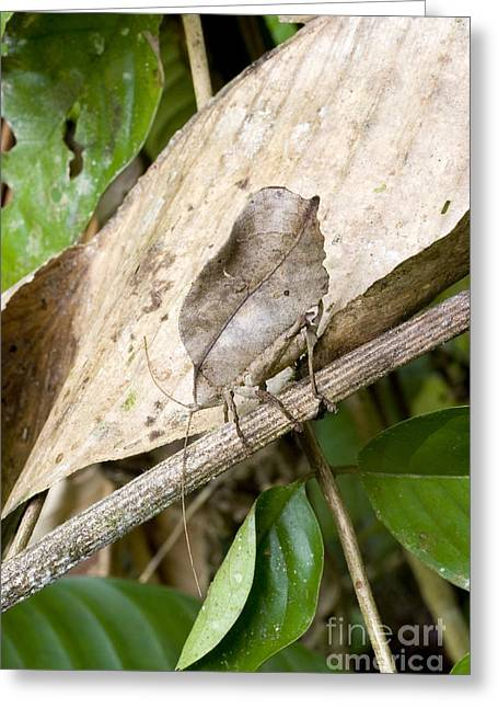 Katydid Greeting Cards - Dead-leaf Mimic Katydid Greeting Card by Gregory G. Dimijian, M.D.