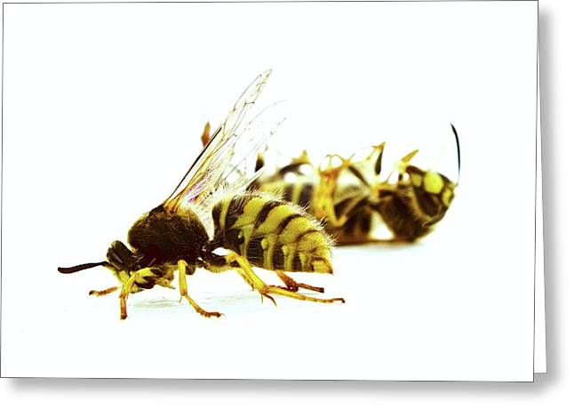 Dead Queen Wasp Greeting Card by Ian Gowland
