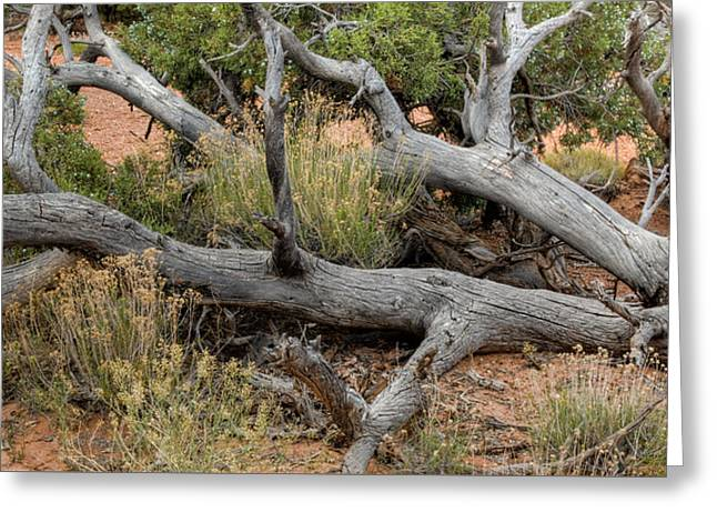 Dead Tree In Arches ... Utah Greeting Card by Rob Huntley
