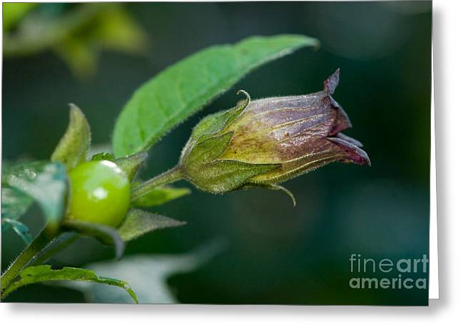 Bella Donna Greeting Cards - Deadly Nightshade Greeting Card by Frank Teigler