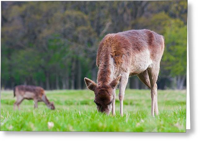 Hind Greeting Cards - Dear Red Deer Greeting Card by Semmick Photo