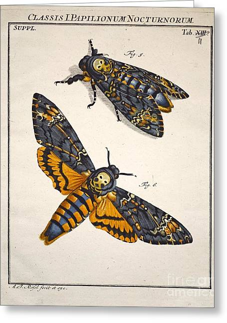 Lifecycle Greeting Cards - Deaths Head Hawkmoth, Rosenhoff, 1744 Greeting Card by Paul D. Stewart