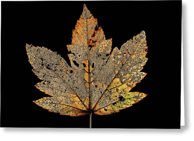 Decayed Norway Maple Leaf Greeting Card by Gilles Mermet