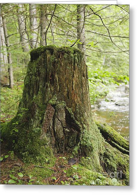 New Hampshire Logging Greeting Cards - Decaying Tree Stump - White Mountains New Hampshire  Greeting Card by Erin Paul Donovan