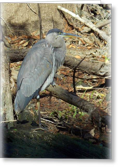 Great Blue Heron Framed Print Greeting Cards - December Blue Heron 1 Greeting Card by Sheri McLeroy