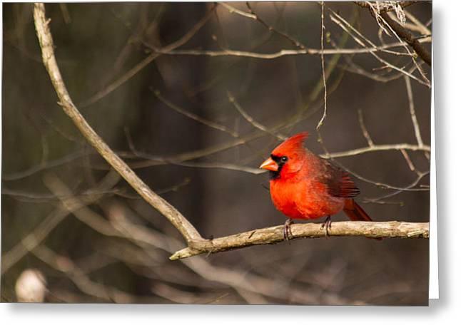 December Cardinal 2012 Pano Greeting Card by Nathaniel Kidd