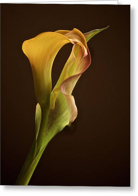 Cala Lily Greeting Cards - December Cala Lily No. 1 Greeting Card by Richard Cummings