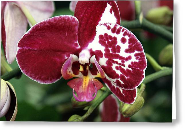 Green Burgandy Greeting Cards - DECEMBER Orchid Greeting Card by William Dey