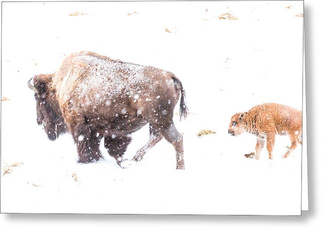 White Thick Fur Greeting Cards - December parenthood Greeting Card by Thomas Szajner