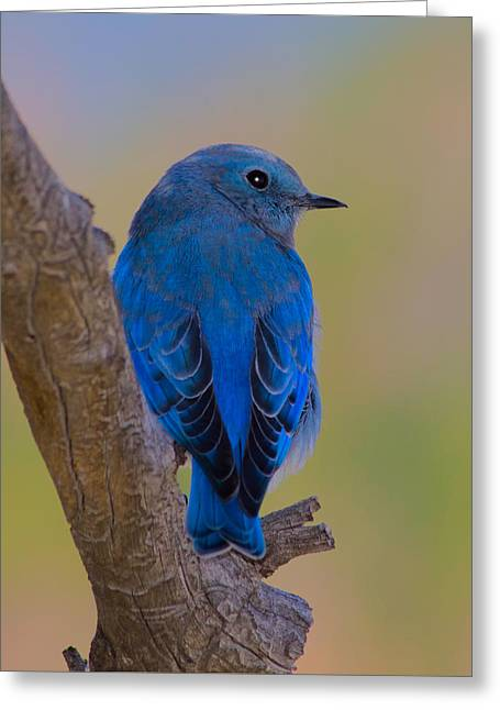 Bluebird Posters Greeting Cards - Deep Blue Greeting Card by Shane Bechler