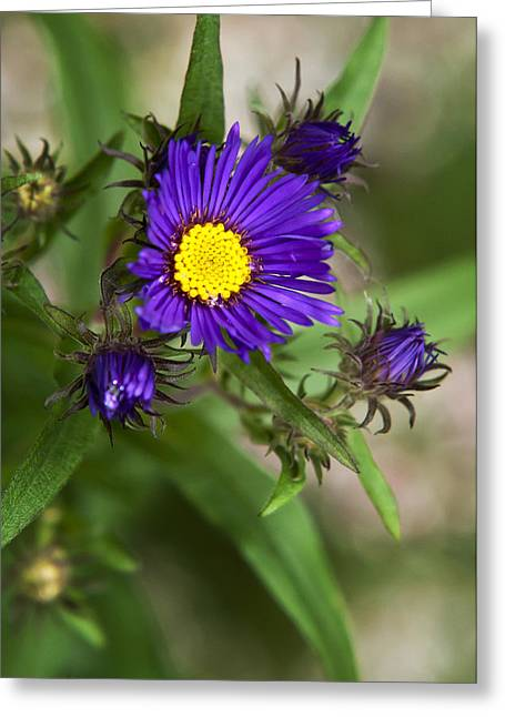 Asters Greeting Cards - Deep Purple Aster Flowers Greeting Card by Christina Rollo