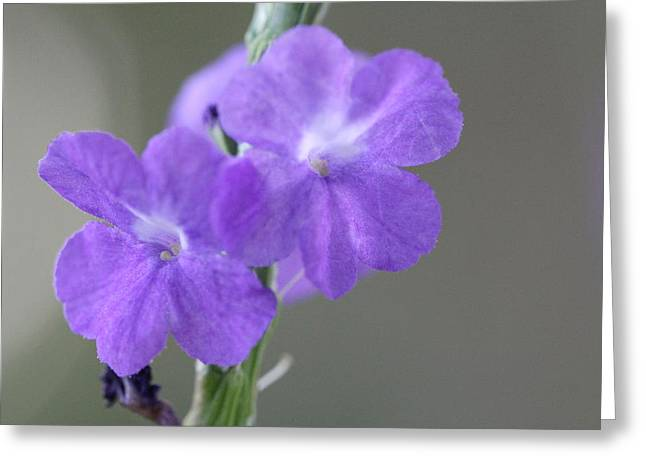 Light Magnifications Greeting Cards - Deep Purple Flowers Greeting Card by Vicente Garcia-huerta