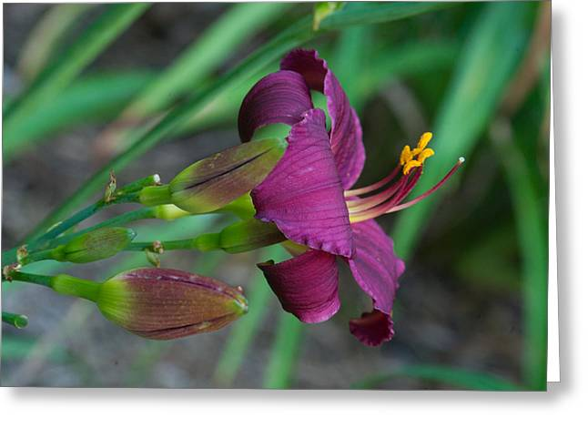 Tendrils Greeting Cards - Deep Purple Lily and Buds Greeting Card by Douglas Barnett