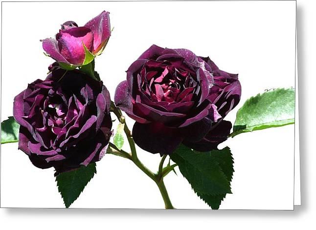 Deep Purple Rose Greeting Card by Geoffrey McLean