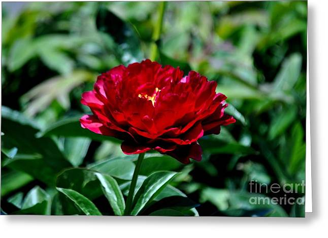 Deep Red Peony Greeting Card by Mandy Judson