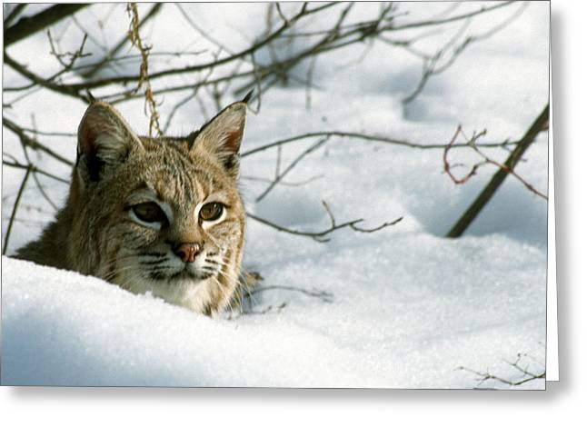 Bobcats Greeting Cards - Deep Snow Hides Bobcat Greeting Card by Larry Allan
