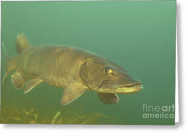 Deep Water Muskie Greeting Card by Engbretson Underwater Photography