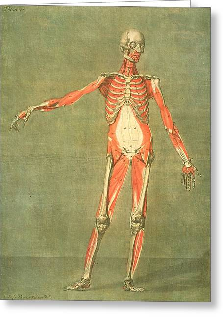 Biology Greeting Cards - Deeper Muscular System Of The Front Greeting Card by Arnauld Eloi Gautier D