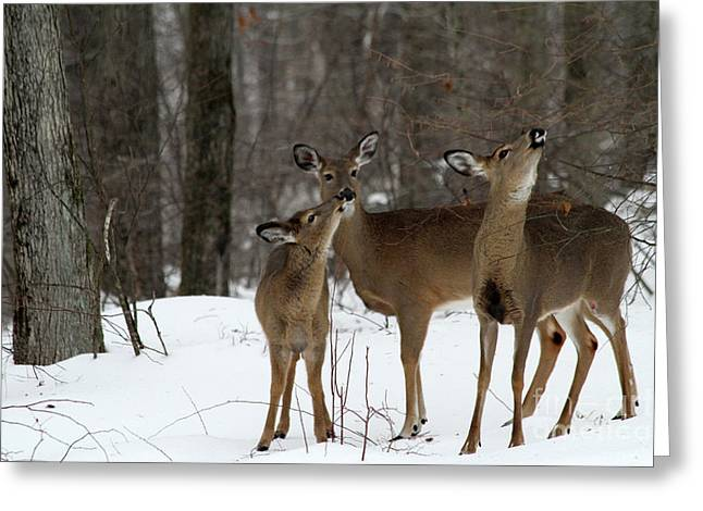 Deer Affection Greeting Card by Karol Livote