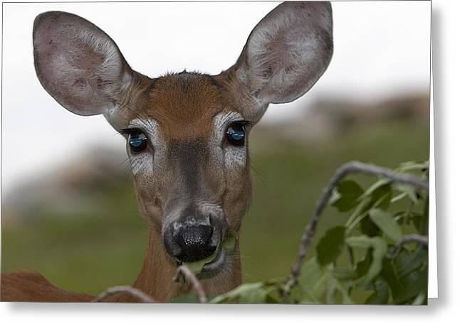 Igor Baranov Greeting Cards - Deer Greeting Card by Igor Baranov