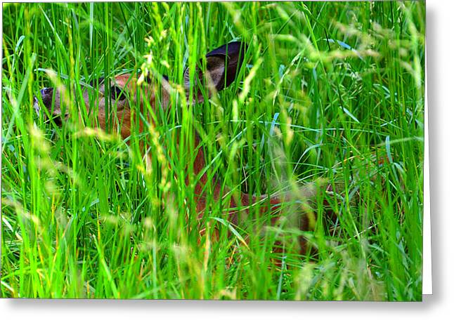 Hiding Greeting Cards - Deer in tall grass Greeting Card by David Lee Thompson