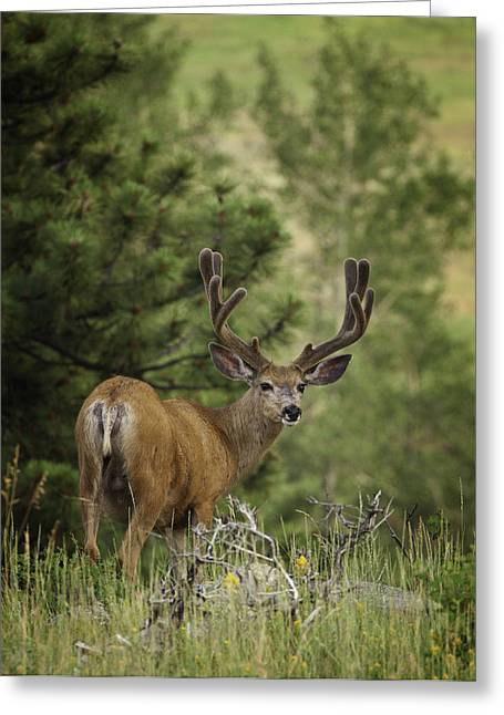 Wildlife Art Acrylic Prints Greeting Cards - Deer in Velvet Greeting Card by Darren  White