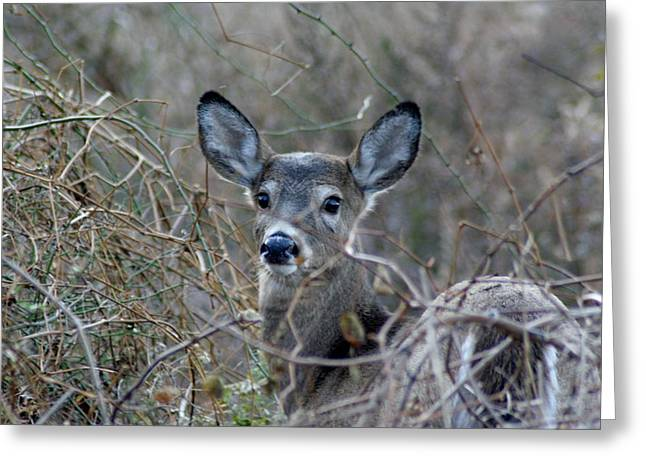 Sea Animals Greeting Cards - Deer Greeting Card by Karen Silvestri