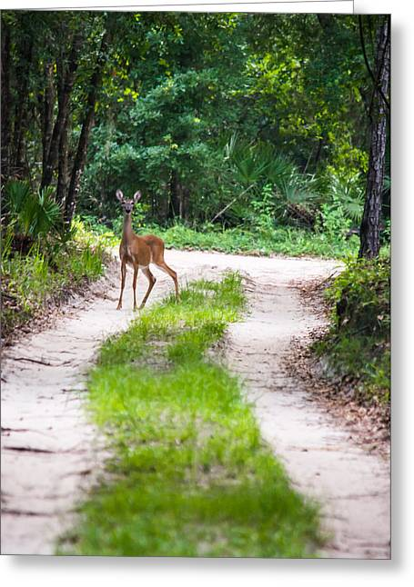 Gainesville Greeting Cards - Deer On A Forest Path Greeting Card by Parker Cunningham