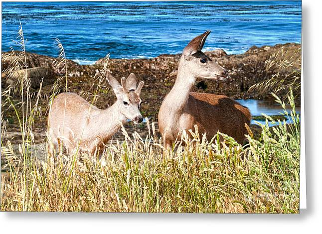 Caves At Pfeiffer Beach Greeting Cards - Deer on the Beach at Point Lobos CA Greeting Card by Artist and Photographer Laura Wrede