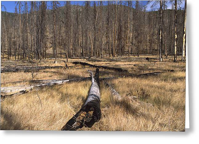 Damaged Photograph Greeting Cards - Deer Plateau After 1990 Forest Burn Greeting Card by Gerry Ellis