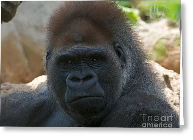 African Saint Greeting Cards - Defiant Silverback Greeting Card by Chris  Brewington Photography LLC