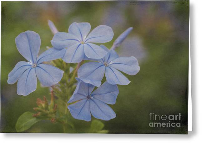 Florida Flowers Greeting Cards - Delicate Blue Plumbago Flowers Greeting Card by Sabrina L Ryan