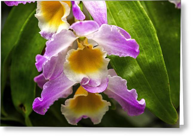 Cattleya Greeting Cards - Delicate Greeting Card by Calazones Flics