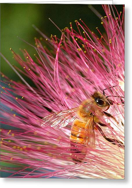 Mimosa Flowers Greeting Cards - Delicate Embrace - Bee and Mimosa Greeting Card by Steven Milner