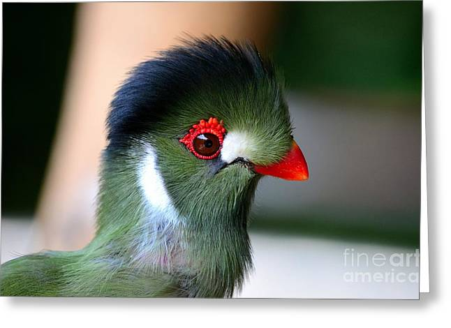 Eyebrow Greeting Cards - Delicate green turaco bird with red beak white patches and black crown Greeting Card by Imran Ahmed