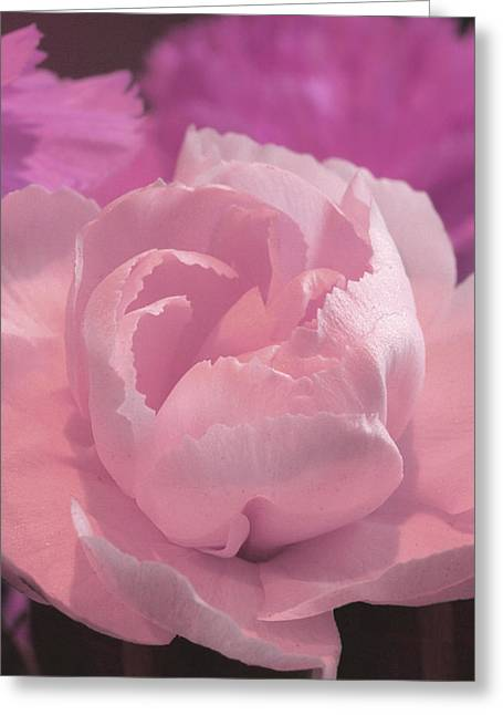 Pink Carnations Greeting Cards - Delicate Pink Carnations Greeting Card by Gill Billington