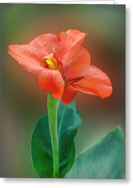 Delicate Red-orange Canna Blossom Greeting Card by Linda Phelps