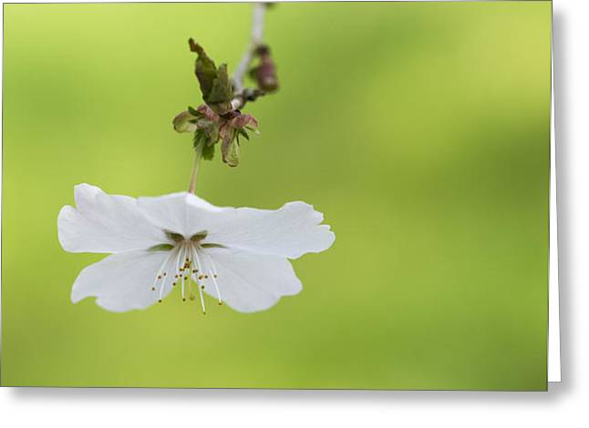 Delicate  Greeting Card by Tim Gainey