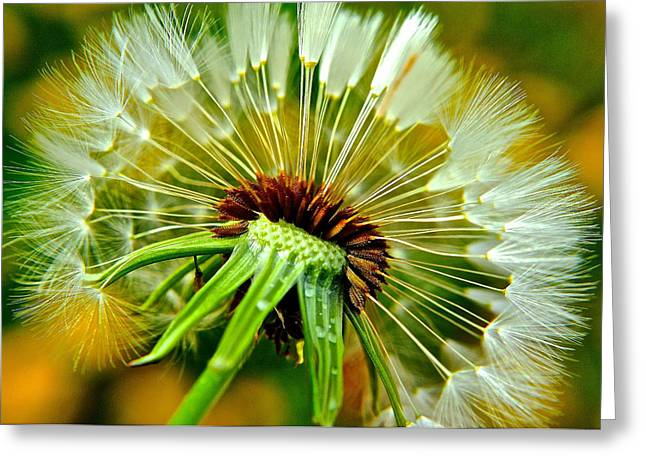 Visceral Greeting Cards - Delightful Dandelion Greeting Card by Frozen in Time Fine Art Photography