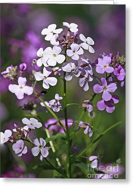 Shelley Myke Greeting Cards - Delightful Summer Phlox in a Meadow Greeting Card by Inspired Nature Photography By Shelley Myke