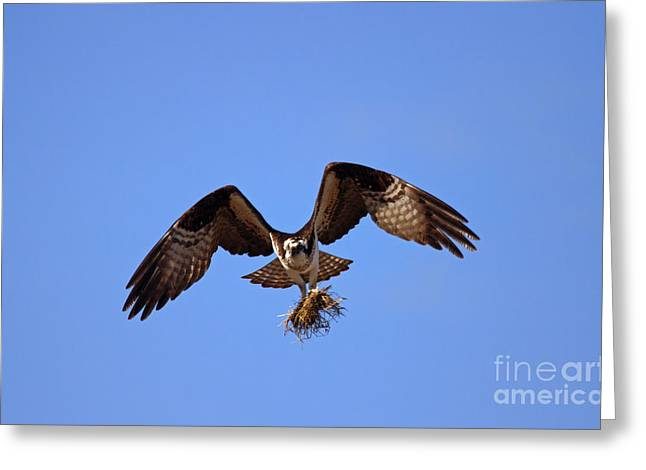 Osprey Photographs Greeting Cards - Delivery by Air Greeting Card by Mike  Dawson