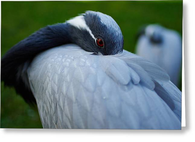 Demoiselles Greeting Cards - Demoiselle Crane Greeting Card by Jouko Lehto