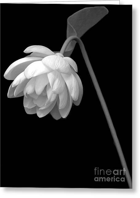 Water Garden Greeting Cards - Demure Lotus Greeting Card by Sabrina L Ryan