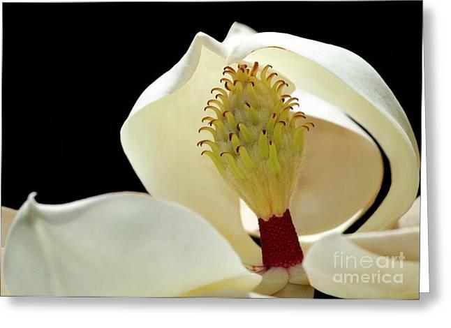 Demure Magnolia Greeting Card by Sabrina L Ryan