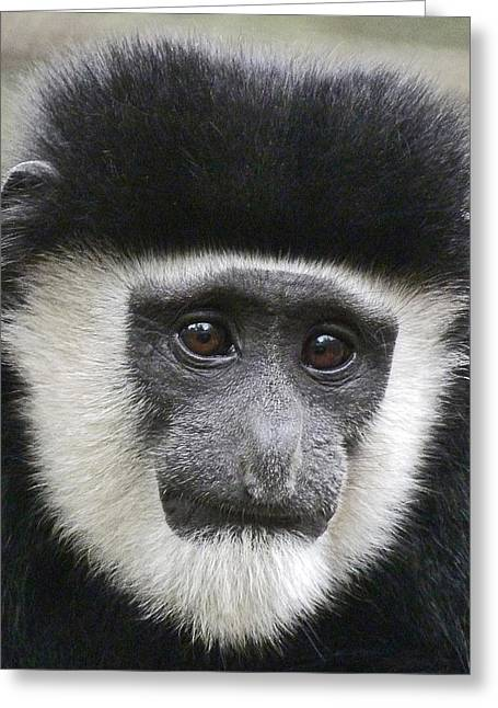 Saheed Greeting Cards - Demure Young Black And White Colobus Greeting Card by Margaret Saheed